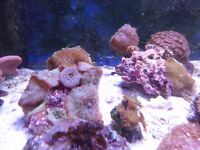 soft coral colonies (3 MUSHROOMS 1ZOA COLONY SOLD)