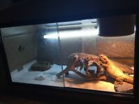 Bearded dragon with full setup