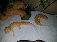 Pair of radar leopard geckos and exo terra viv , accessories