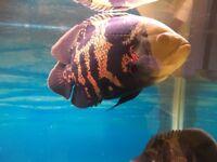 Oscar fish