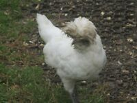 Poland bantams
