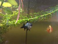 Free male platy fish