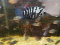 Convict fish (Tropical)