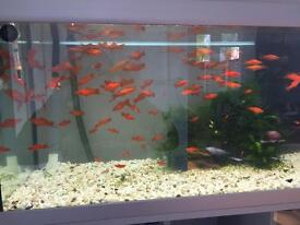 Fish tank+swordtail fish