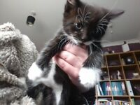 2 beautiful tuxedo kittens in need of a loving home