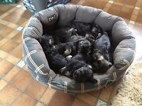 Pedigree Miniature Schnauzer Puppies - 1 bitch remaining. Bromyard, Herefordshire