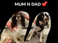 Spaniel puppies | Dogs & Puppies for Sale - Gumtree