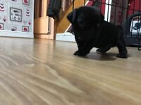 KC registered male pug puppy