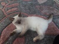 British Shorthair Pedigree Female kitten