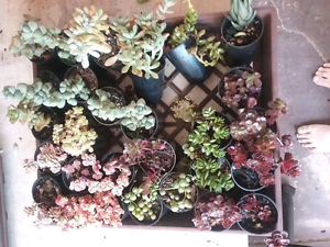 Assorted Succulents Hillarys Joondalup Area Preview