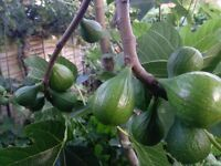 FIG TREES, ORIGIN ITALY, Acclimatized in UK for the last 50 years
