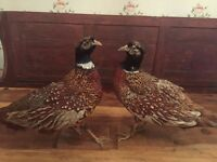Pair of Taxidermy Pheasants