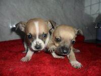 chihauhau x jack russel pups