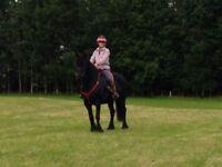 Registered Fell Pony gelding