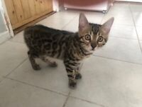 Handsome Bengal Kitten looking for his forever home!