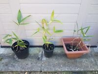 Large leaf bamboo plants