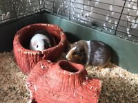 Two Male Guinea Pigs including cage and accessories