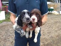 Two Beautiful Cocker Spaniel Puppies