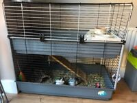 2 male guinea pigs, cage, saw dust, run etc