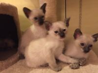 Georgeous Siamese Kittens -Reserve now