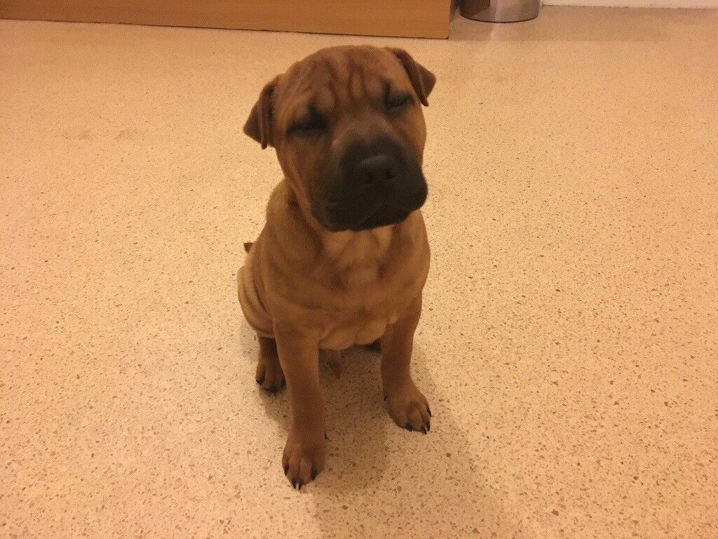 Sharpei x Staffi Puppy