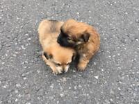 Yorkshire Terrier Cross Chihuahua 2 Girls