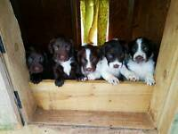 Sprocker pups