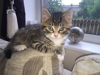 Gorgeous pair of tiger tabby kittens. Both girls. Absolutely beautiful markings. £150 for both Ono.