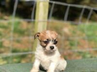 Chihuahua x Maltese Puppies