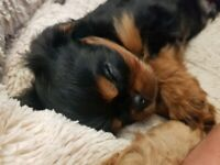 Ready now - Cavalier King Charles Spaniel puppies