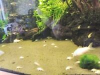 Albino Cory Fry £2 each or 6 for £10