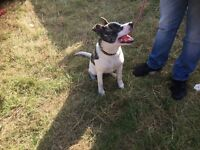 Female Japanese Akita 6 Months Old For Urgent Rehoming