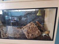 Adult Bearded Dragon with complete vivarium