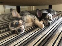 VERY RARE Blue Merle Chihuahua Puppies