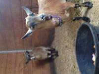 Miniature Twin Goats for Sale