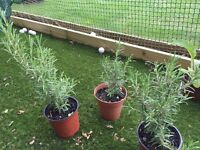 Rosemary Plant 1 for sale