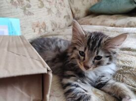 Long haired Tabby Male 12 Weeks Old