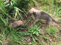 Collie cross lurcher puppies