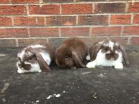Baby mini lop rabbits