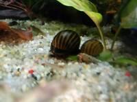 Zebra Nerite Snails, tropical fish