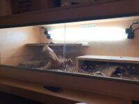 Bearded Dragon For Sale (Vivarium and equipment as well)