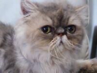 Persian cat (Blue/golden male