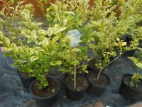 Hedging- Gold Privet - Collection TF1 Wellington