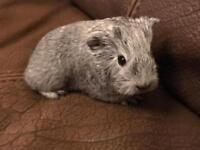 Beautiful baby boy Guinea pig