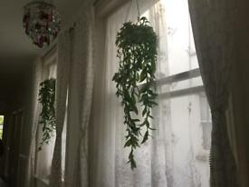 Long real Tradescantia Wandering Jew hanging house plants