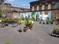 Palms for sale from £20 Central London Vauxhall Newport st, SE116AY