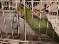 Lovely parrotlet (smaller parrot with cage and toys £65