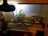 Pair of leopard geckos and set up