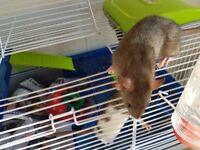 Beautiful baby rats 7wks old.