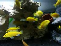 Yellow labs malawi cichlids